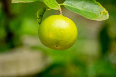 Lime on tree in the garden at thailand. Lime on tree in the garden royalty free stock images