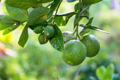 Lime tree. In garden after watering stock photography