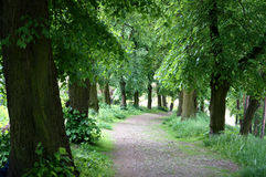 Lime tree green alley Stock Photos