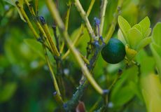 Lime on tree. Green lime on tree between leaves royalty free stock photography