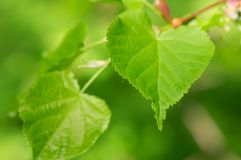 Lime tree green leaves. (shallow focus stock photos