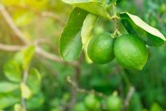 Lime on tree, Green lemon on tree. Lime on tree, Green lemon on tree stock image