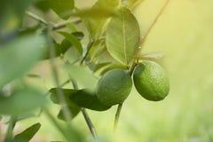 Lime on tree, Green lemon on tree. Lime on tree, Green lemon on tree royalty free stock photos