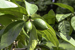Lime tree. Green limes growing on a lime tree royalty free stock image