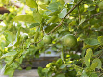 Lime tree Stock Photography