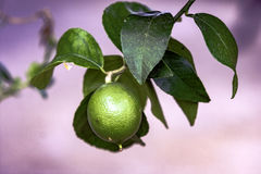 Lime on the tree. Lime growing on a tree royalty free stock images