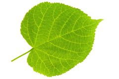 Lime Tree Leaf Stock Photography