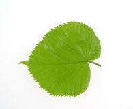 Lime tree  leaf. Leaf of lime tree  isolated Royalty Free Stock Images