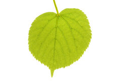 Lime tree leaf Royalty Free Stock Photography