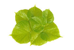 Lime tree  leafs. Leafs of lime tree  isolated Stock Images