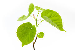 Lime tree leaves Stock Images