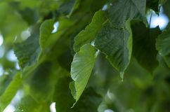 Lime tree leaves closeup. Excellent Wallpaper on your desktop stock photos