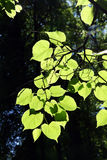 Lime-tree leaves in sunlight. Bright lime-tree spring leaves in sunlight stock images