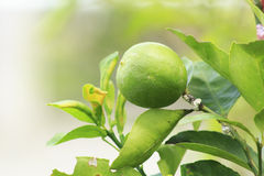 Lime on tree. Lemon green stock photos
