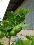 These are lime. Lime tree lemon store decorate stock images