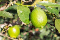 Fresh lime hanging on tree. Citrus fruit. Selective focus. Lime tree with lime fruit growing. Outdoor royalty free stock images