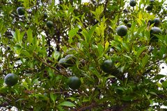 Lime tree. Close up with green leafs and fruits In Kavala royalty free stock images