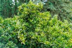 Lime tree. Lush green foliage and lime fruit. Tropical fauna stock photos