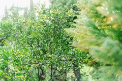 Lime tree. Lush green foliage and lime fruit. Tropical fauna royalty free stock photography