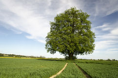 Lime tree. Old lime tree in middle of fields royalty free stock photography