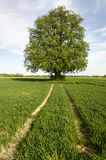 Lime tree. Old lime tree in middle of fields Royalty Free Stock Photo