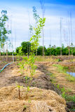 Lime tree planting. In the field stock photo