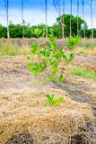 Lime tree planting. In the field royalty free stock images