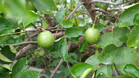 Lime in The Tree. After Raining royalty free stock photography