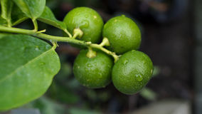 Lime in The Tree. After Raining royalty free stock image