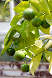 Lime Tree Royalty Free Stock Photos