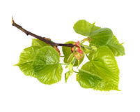 Lime tree sprig. Sprig of lime tree isolated stock photography