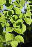 Lime tree. Sunlit lime tree in park Taganrog royalty free stock photo