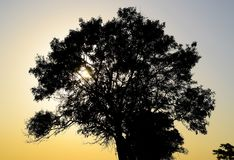 Lime tree on a sunset background. Black silhouette of a tree. Lime tree on a sunset background. Black silhouette of a tree royalty free stock photo