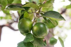 Lime on tree Stock Image