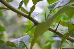 Lime tree thorn. Condensation on the thorny lime. Songkhla, Thailand Stock Photos