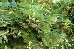 Lime tree Tilia blossom at corfu Greece royalty free stock photo