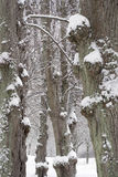 Lime tree trunks in winter Stock Photos