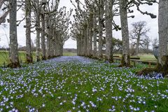 The lime tree walk at Mottisfont Abbey in Hampshire. The lime tree walk in spring at Mottisfont Abbey in Hampshire with a carpet of vivid blue flowers Royalty Free Stock Image