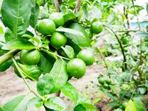 Lime tree with water at the garden with sun. Green lemon Royalty Free Stock Photography