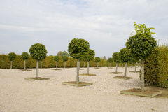 Lime trees Royalty Free Stock Photo