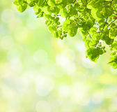 Lime Trees Royalty Free Stock Images