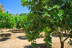 Lime trees in Agrigento - temples valley Royalty Free Stock Photos