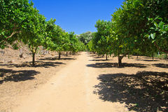 Lime trees in Agrigento - temples valley Royalty Free Stock Images