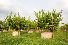 Lime trees. royalty free stock photo