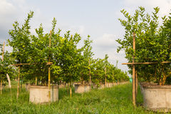 Lime trees. Stock Photography