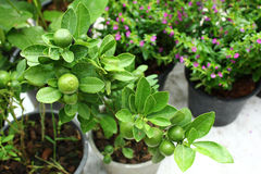 Lime trees. Small lime trees were sold at the market, Thailand royalty free stock photos