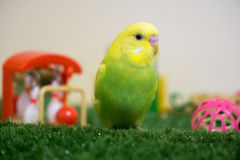 Lime and yellow budgie. Cute lime and yellow budgerigar sitting on synthetic grass with toys in background Royalty Free Stock Photography