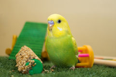 Lime and yellow budgie. Cute lime and yellow budgerigar sitting on synthetic grass with toys in background Royalty Free Stock Photos