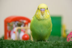 Lime and yellow budgie. Cute lime and yellow budgerigar sitting on synthetic grass with toys in background Stock Images