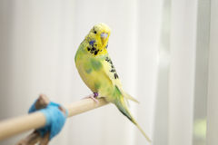Lime and yellow pied budgie. Cute lime and yellow budgerigar sitting on wooden perch Royalty Free Stock Image